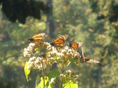 monarca_en_arbusto